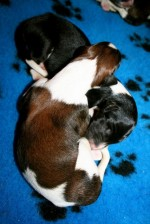 Solnyshko Puppies (01)